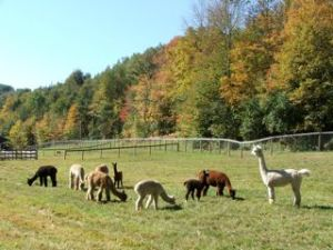 Alpacas in VT